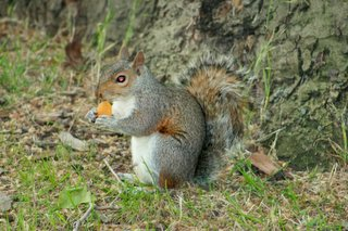 esquilo a comer damascoseco